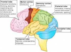Developmental movements can improve each of these areas of the brain to help learning.